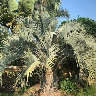 Jelly Palm, Pindo Palm