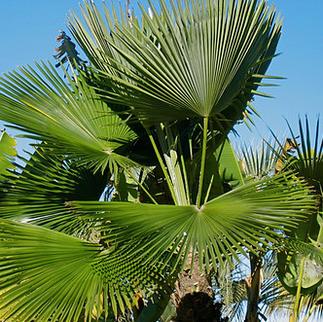 Khasia Hills Palm