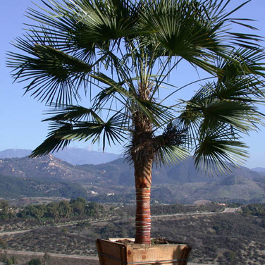 The Chusan Palm