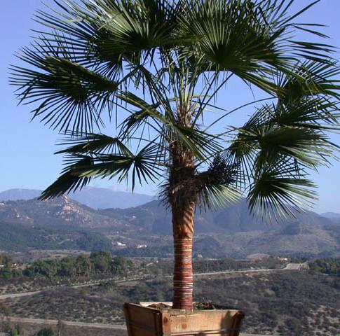 The Chusan Palm