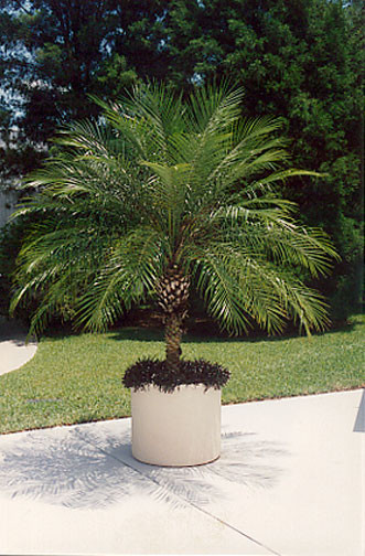 entracing palm tree type house plant. NAME  Phoenix roebellini HARDINESS 26 ORIGIN Laos HEIGHT 10 15 GROWTH RATE Slow The dwarf palm even Golden Gate Palms Nursery