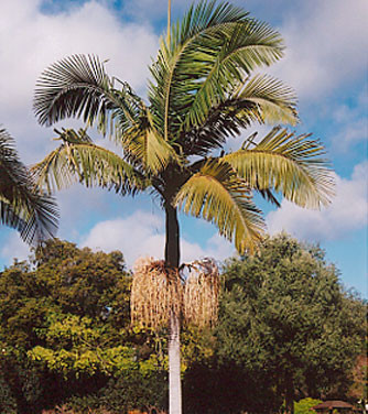 King Palm, Bangalow Palm