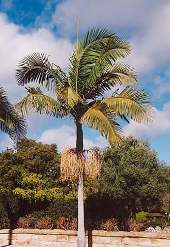 King Palm, Bangalow Palm