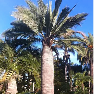 Chilean Wine Palm