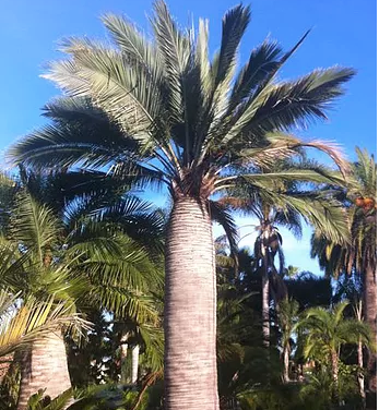 Chilean Wine Palm