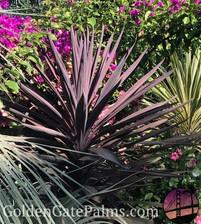 Chamaedorea australis 'Red Sensation'