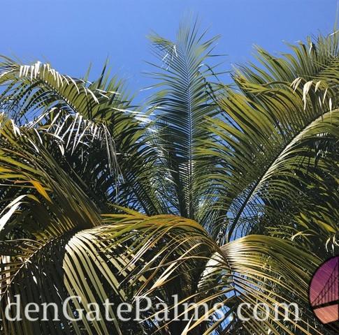 Butia x Syagrus hybrid ('Butiagrus', 'Mule palm')