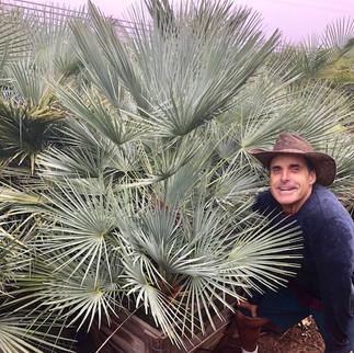 Blue Moraccan Fan Palm