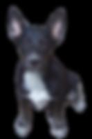 Shepherd pup2.png