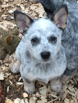 Cattle Pups