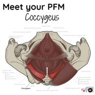 Meet your PFM Coccygeus