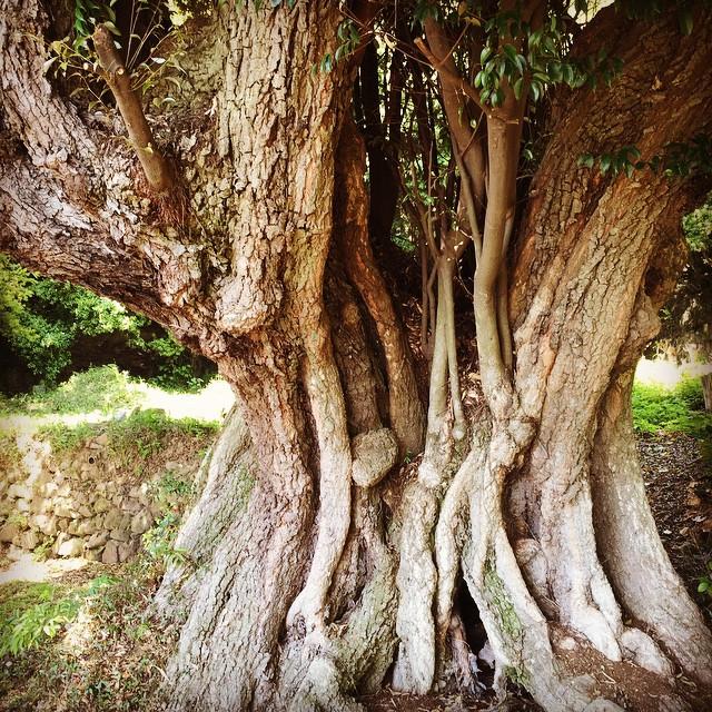 まるでトトロの木。雰囲気が素晴らしい。#淡路島
