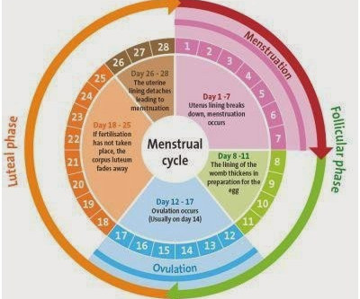 The Menstrual Cycle, Training and Dieting