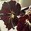 Thumbnail: Rex Begonia