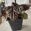 Thumbnail: Pepperomia plant