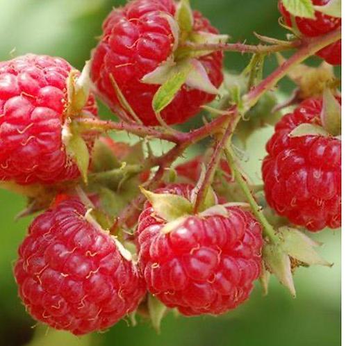 Red Raspberry Jelly