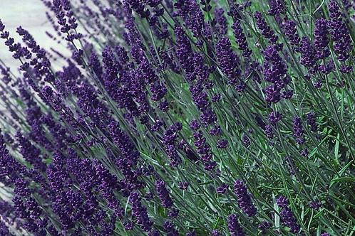 Lavender, Hidcote