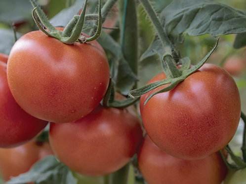 Indepence Day Tomato Plant
