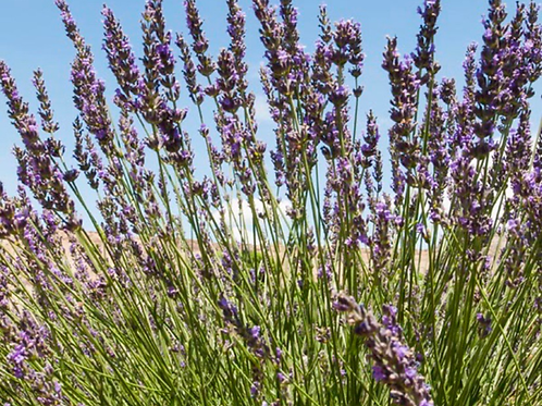 Lavender Plant, Grosso