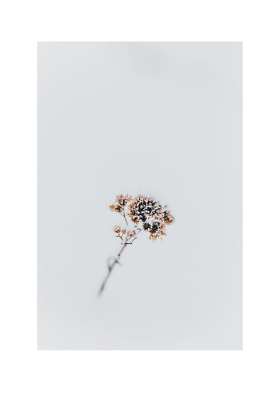 A Flower and the Snow