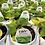 "Thumbnail: PW Ipomea Sweet Potato Vine 4.25"" Pot"