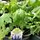 Thumbnail: Delphinium 1 gallon pot