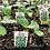 "Thumbnail: Cucumber Plant 3"" Pot"