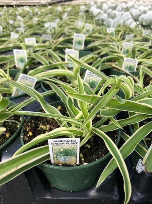"Spider Plant 4.25"" Hart's Pot"