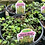 Thumbnail: Sedum Stonecrop 1 gallon pot