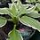 Thumbnail: Hosta Standard Varieties 1 gallon pot