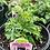 Thumbnail: Scabiosa Pincushion Flower 1 gallon pot