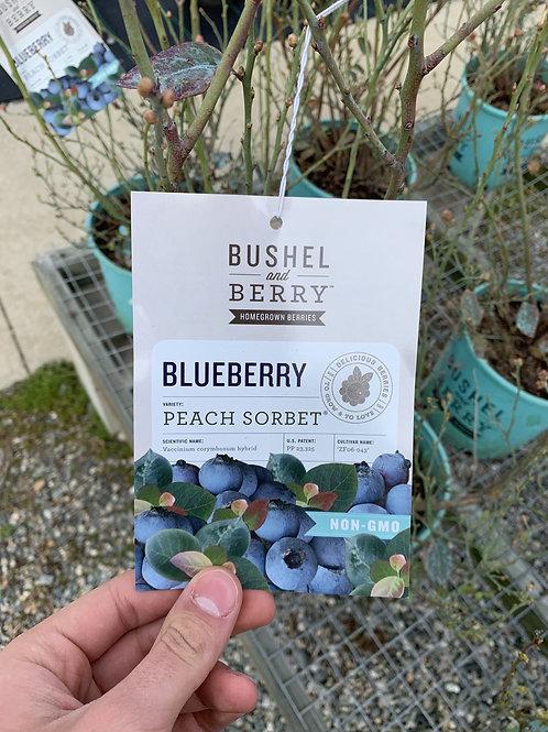 Blueberry 'Peach Sorbet' 2gallon pot