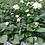 """Thumbnail: PW Dahlia Dahlina 4.25"""" Pot"""