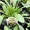 Thumbnail: Coreopsis Tickseed 1 Gallon Pot