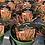 """Thumbnail: Annual Grass 4.25"""" Hart's Pot"""