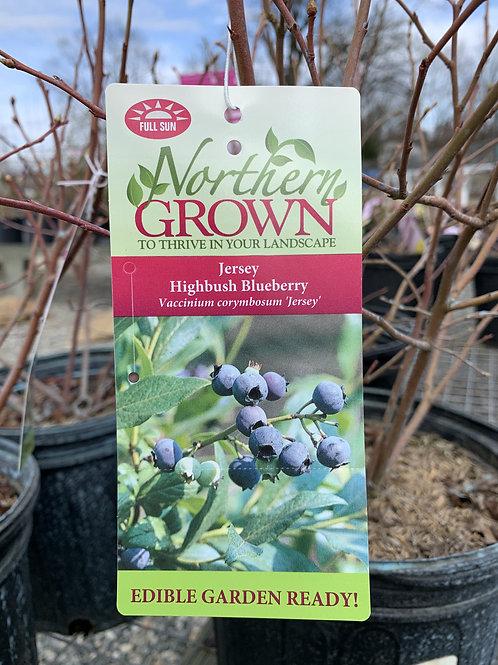 Blueberry 'Jersey' 2gallon pot