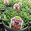 Thumbnail: Delosperma Ice Plant 1 Gallon Pot
