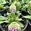 Thumbnail: Salvia Sage 1 gallon pot