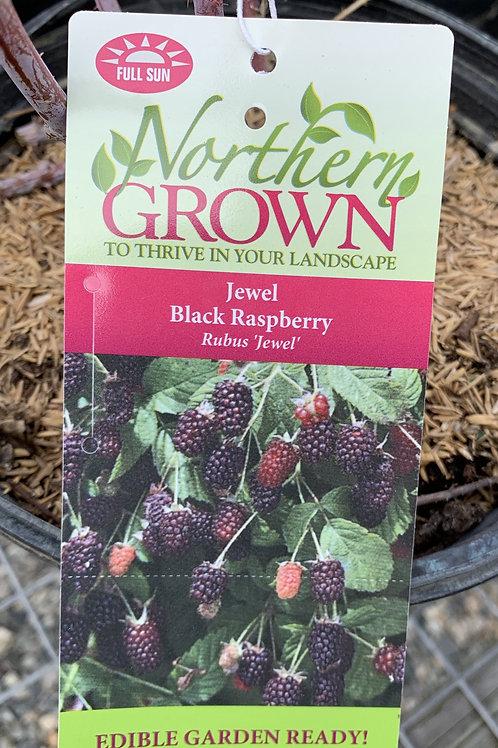 Black Raspberry 'Jewel' 2gallon pot