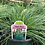 Thumbnail: Ornamental Grass 1 Gallon Pot