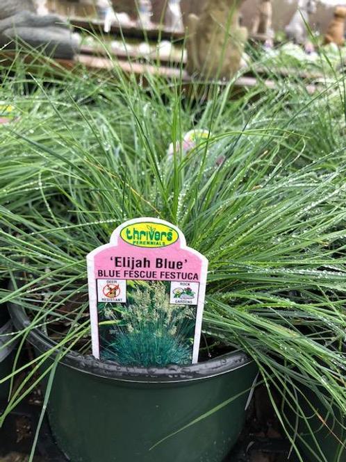 Ornamental Grass 1 Gallon Pot