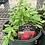 Thumbnail: Astilbe 1 Gallon Pot