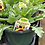 Thumbnail: Gaillardia Blanket Flower 1 gallon pot