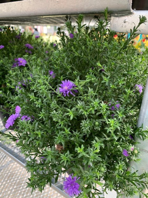 """8"""" Hardy Aster"""