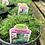 Thumbnail: Sagina Irish Moss 1 gallon pot