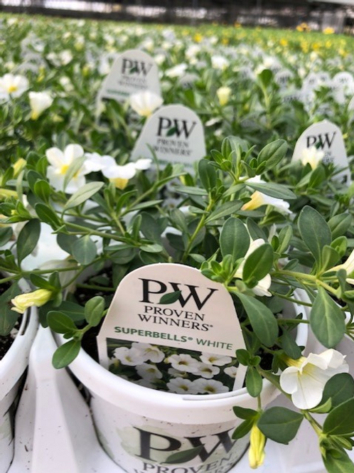 "PW Calibrachoa Superbells White 4.25"" Pot"