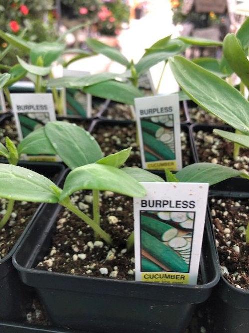 """Cucumber Plant 3"""" Pot"""