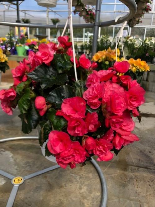 "8"" Reiger Begonia Hanging Basket"