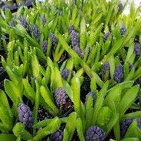 Hyacinth Plant - Perennial!