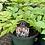 Thumbnail: Astilbe Premium Varieties 1 Gallon Pot